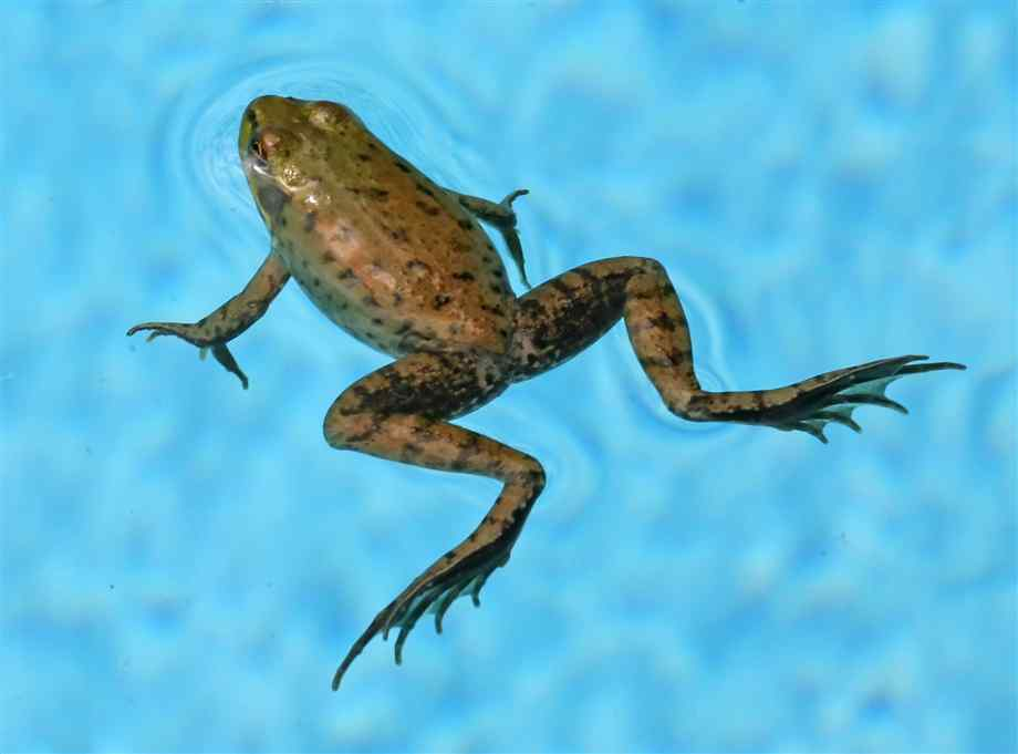 how to keep frogs out of a pool alpha pools